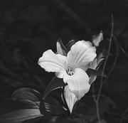 28th Feb 2019 - White Trillium