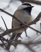 28th Feb 2019 - black-capped chickadee portrait