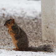 28th Feb 2019 - squirrel