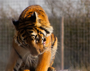 28th Feb 2019 - Tiger, tiger....