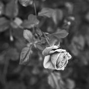 1st Feb 2019 - Fall Rose
