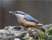 28th Feb 2019 - Nuthatch