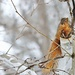 Squirrel In Birch Tree