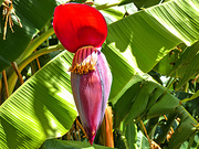 1st Mar 2019 - Banana flower up close