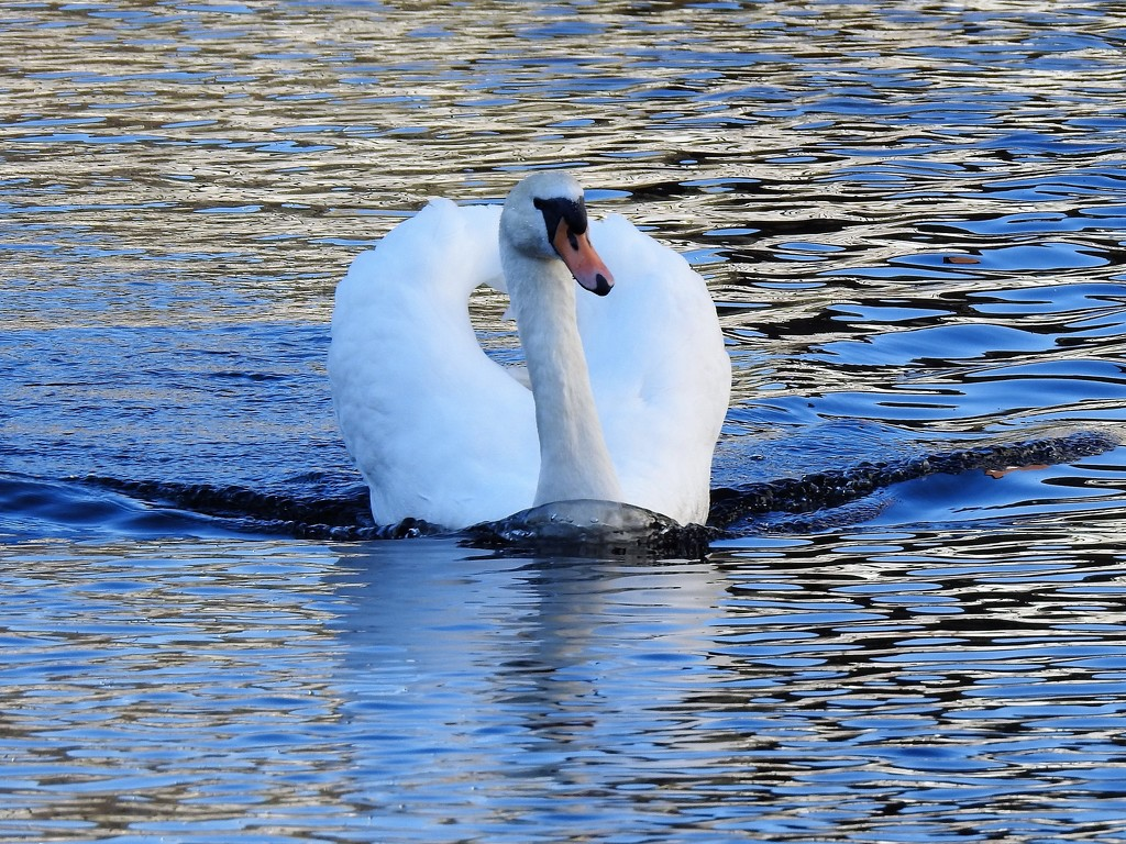 Swan........ by susiemc