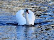 1st Mar 2019 - Swan........