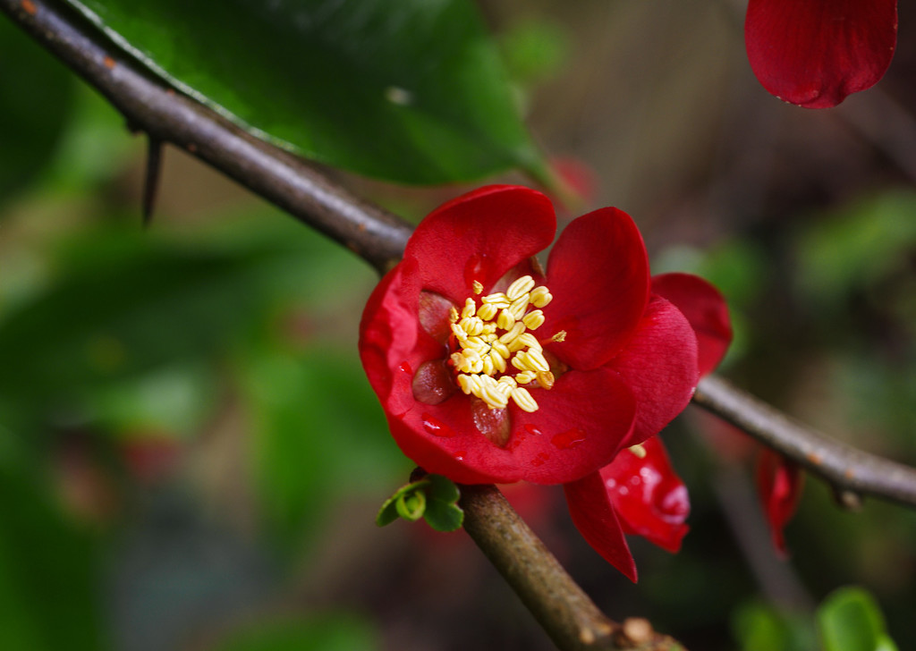 Japonica in our garden today by ivan