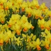 Happy St David's Day by susiemc