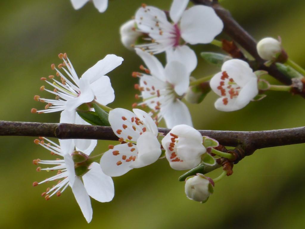 Blackthorn blossom.... by snowy