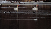 1st Mar 2019 - swans