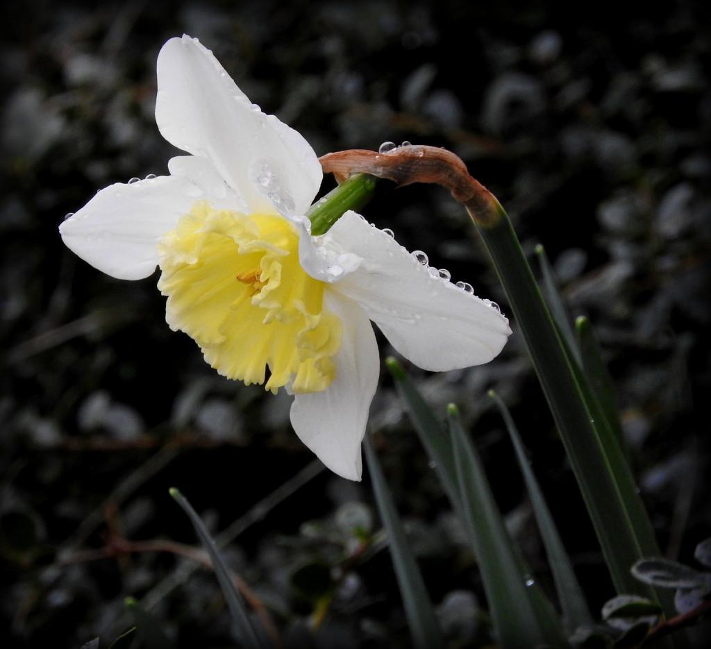 Daffodil in the Rain by homeschoolmom