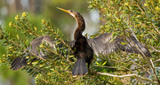 1st Mar 2019 - Anhinga, Drying the Wings!