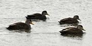1st Mar 2019 - A quartet of ducks before the snowstorm.