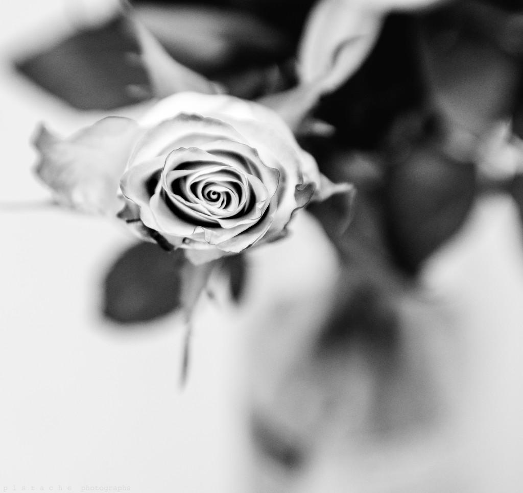 sweet 80 rose by pistache