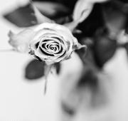 27th Feb 2019 - sweet 80 rose