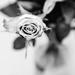 sweet 80 rose