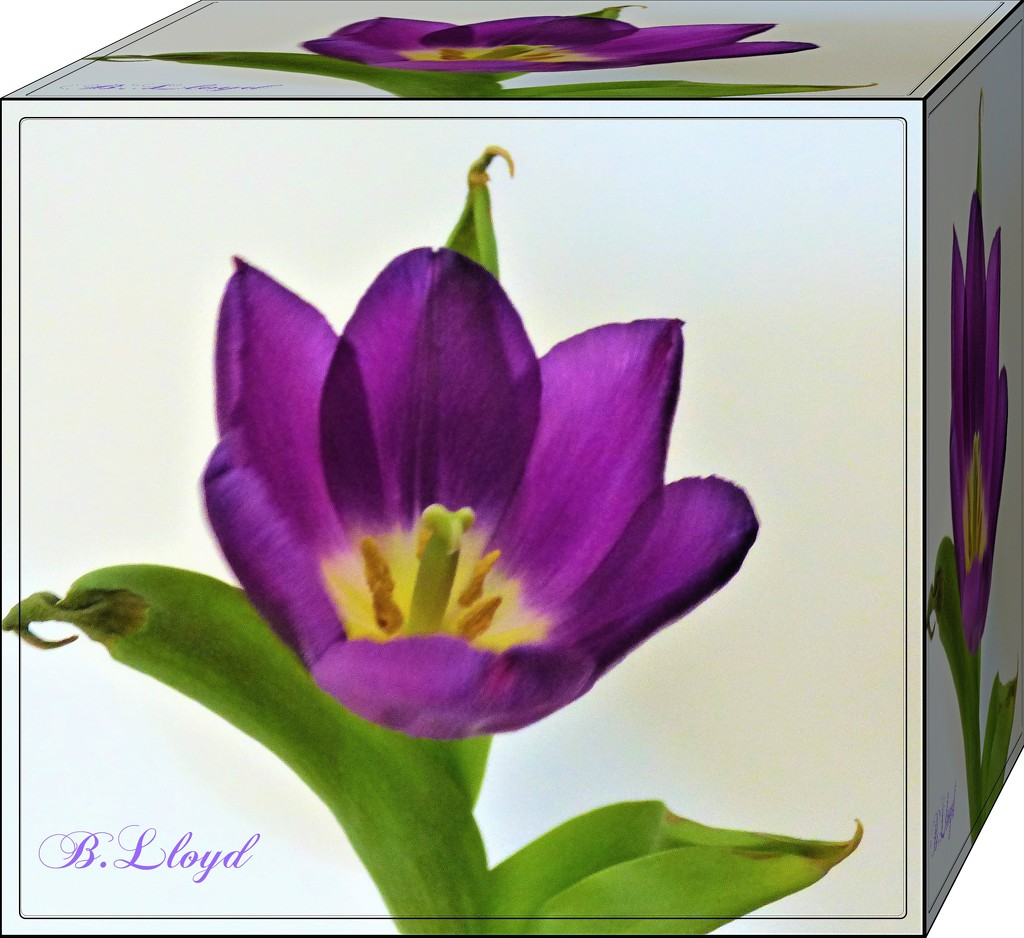Purple Tulip Cube by beryl