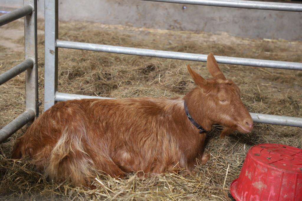 golden jersey goat by jennyjustfeet