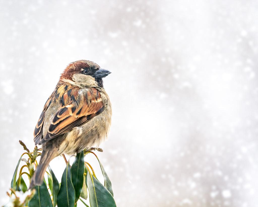 sparrow by jernst1779