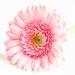 Pink Gerbera by pamknowler