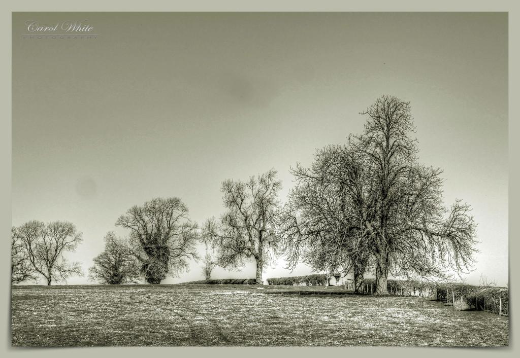 Winter Trees by carolmw