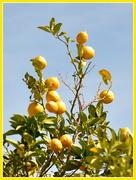 3rd Mar 2019 - Lemons