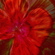 4th Mar 2019 - Rainbow Month - Red flower burst