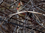 3rd Mar 2019 - northern cardinal branches