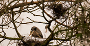 3rd Mar 2019 - Momma Blue Heron, Still Checking Out Her Nest!