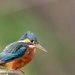 Female Kingfisher-best I have seen this year. by padlock