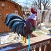 The Willoughby Weather Rooster