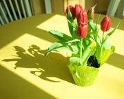 4th Mar 2019 - Tulips