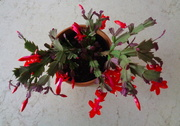 4th Mar 2019 - My March 'Christmas' cactus is blooming.