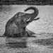 Happy Young Elephant Loves Bathing by taffy