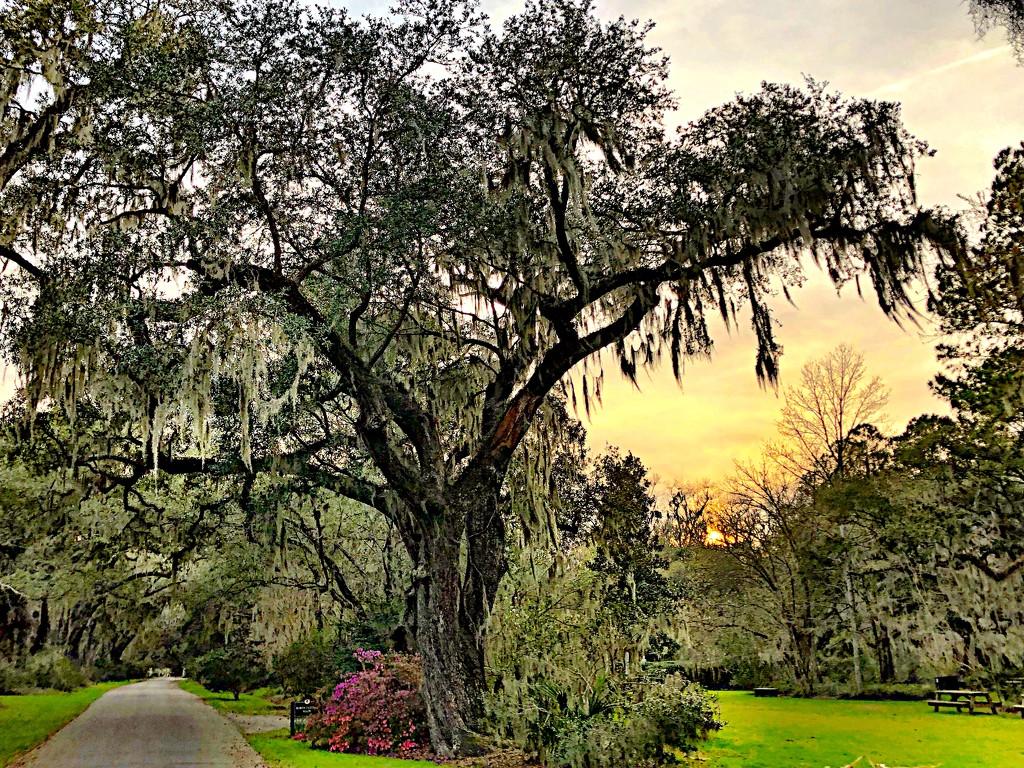 Magnolia Gardens by congaree