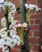 4th Mar 2019 - Pear blossoms