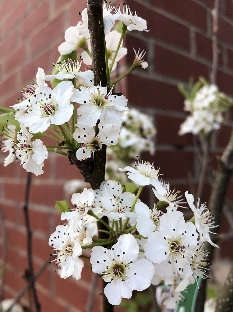 Pear tree in bloom by homeschoolmom