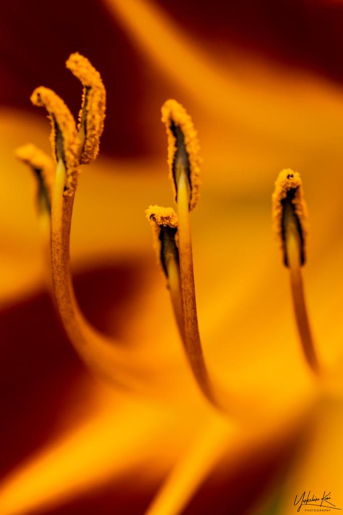 Orange Stamens by yorkshirekiwi