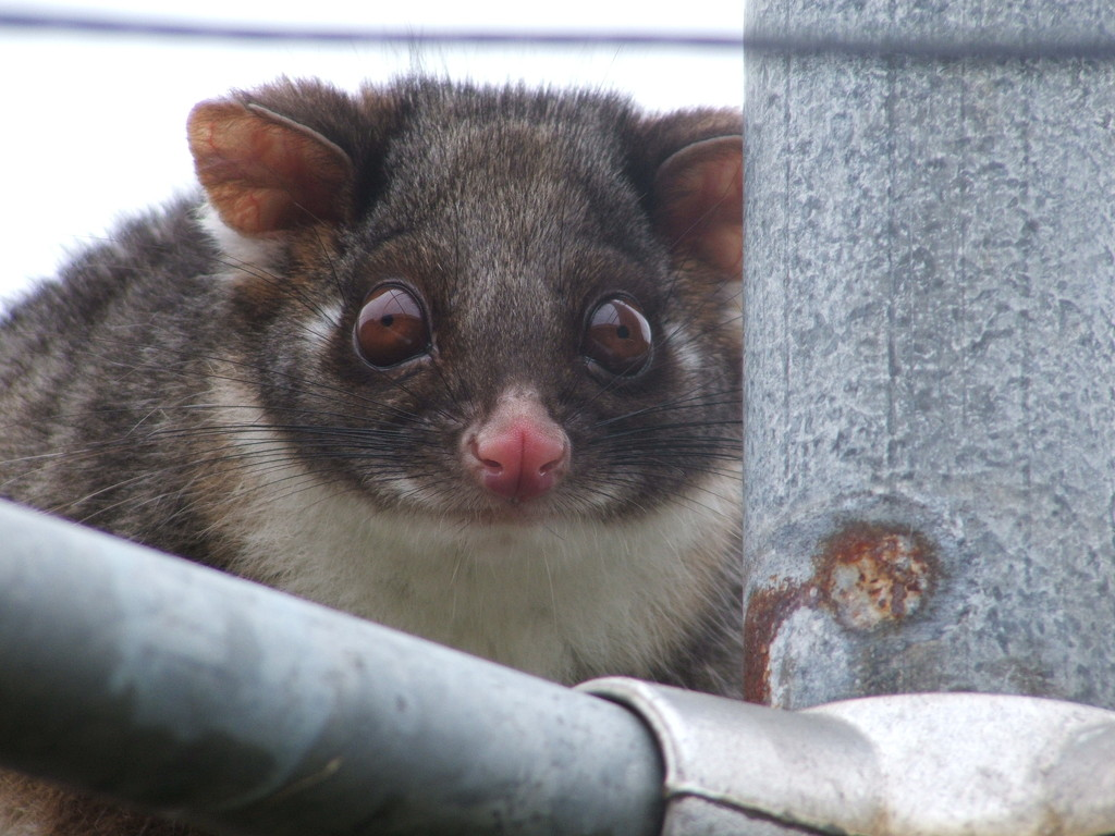 Hanging out to dry - A cheeky Ringtail Possum on my washing line #1 by kgolab