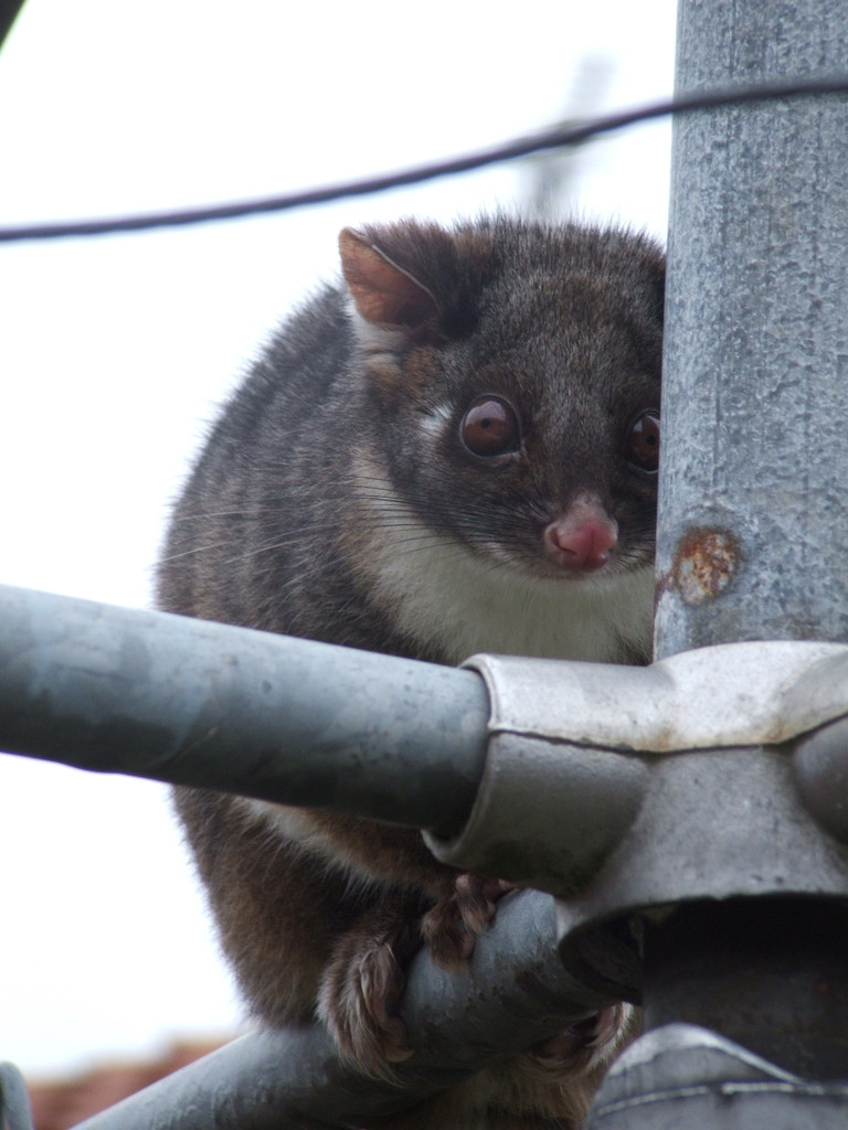 Hanging out to dry - A cheeky Ringtail Possum on my washing line #2 by kgolab
