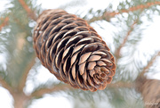 5th Mar 2019 - The pinecone!