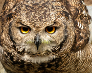 6th Mar 2019 - Spotted Eagle Owl