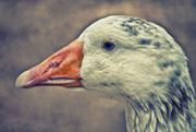 7th Jan 2019 - Goose