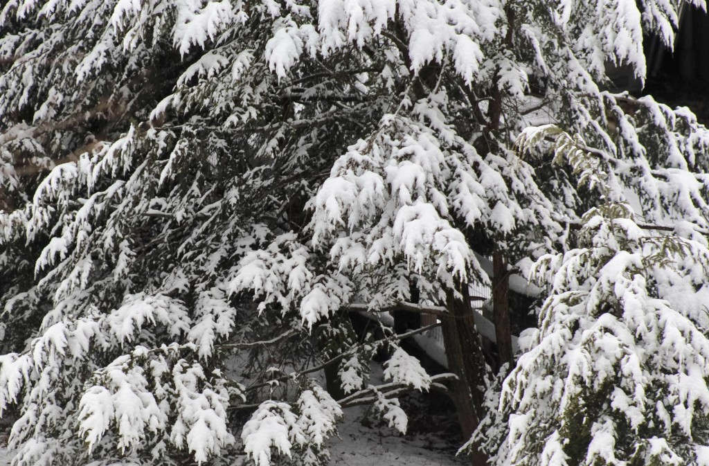 Snow on a pine tree by mittens