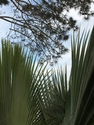6th Mar 2019 - Pines and Palms in Pt. Loma