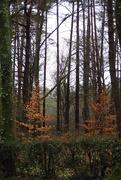 6th Mar 2019 - Copper Beech & Pines