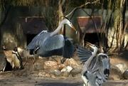 4th Mar 2019 - Herons at London Zoo