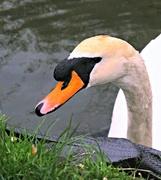 6th Mar 2019 - Swan