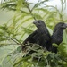 Brazilian Blackbirds
