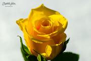 6th Mar 2019 - Yellow rose